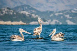 Dalmatian-pelican-Liqeni-i-Shkodres-Jetmir-Troshani-1800-1024x683